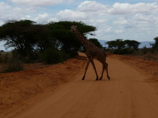 ‪‪Safari Kenya Watamu - Day Tours‬: Giraffa