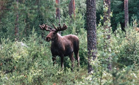 Wild Sweden - safariturer i Sverige: Moose bull