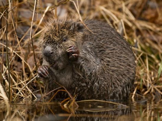 Wild Sweden - safariturer i Sverige: Beaver