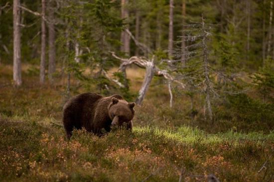 Wild Sweden - safariturer i Sverige: Brown bear seen on a tour