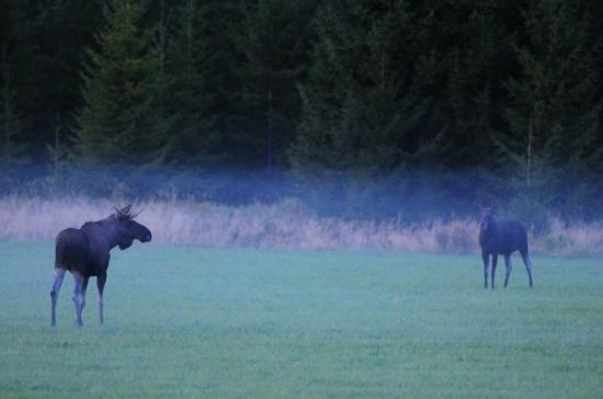 Skinnskatteberg, Suecia: Moose bull and cow during mating season