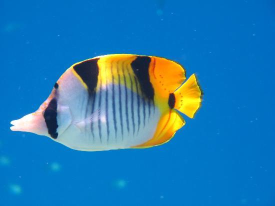 Mirihi Island Resort: Saddleback butterfly fish