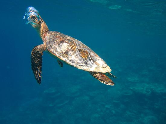Mirihi Island Resort: Reef turtle