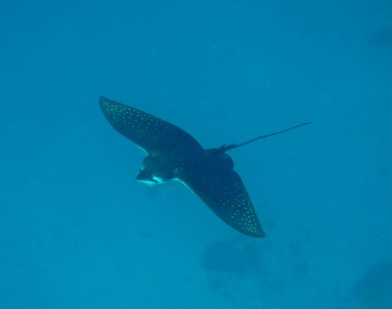 Mirihi Island Resort: Eagle ray on the reef
