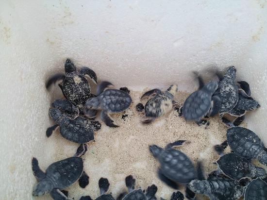 The Royal Caribbean : Baby turtles that are released each evening