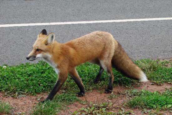 Prince Edward Island, Canada: Fox in PEI National Park