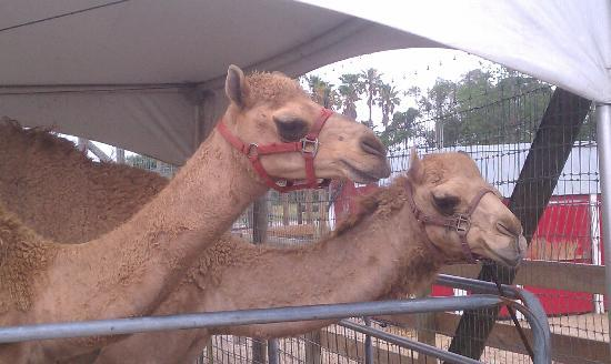 Big Cat Habitat and Gulf Coast Sanctuary : The camels in the more family friendly section that doesn't require tall fencing.
