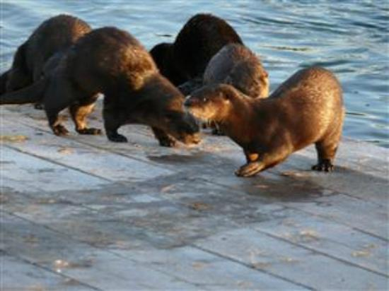Killarney Mountain Lodge: Otters on the boat ramp