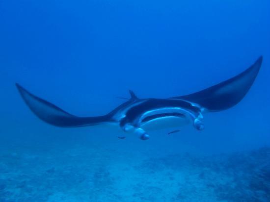 TOPDIVE Bora Bora : Giant Manta Ray