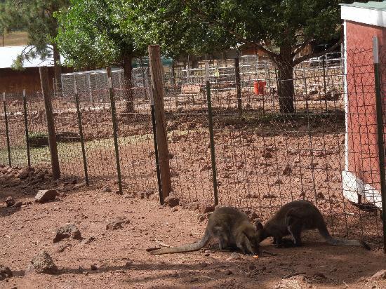 Grand Canyon Deer Farm: Kangaroo