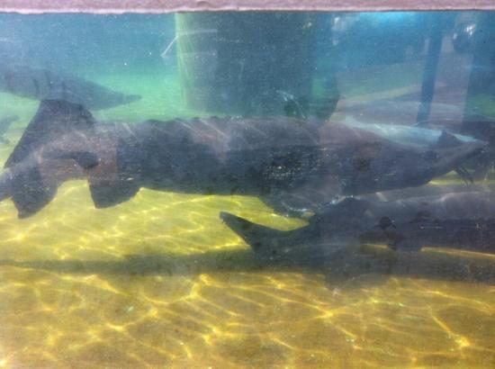Idenoyama Park: 養殖のサメもいました。
