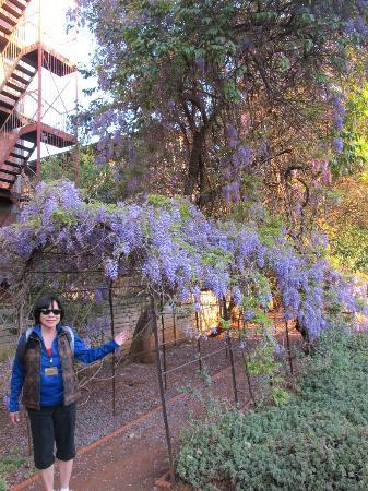 Melrose House: wisteria in the garden