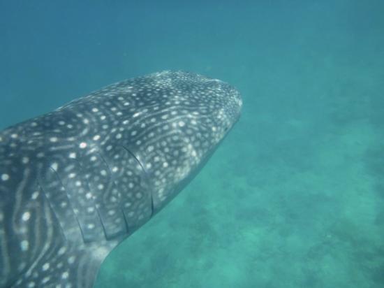 Mirihi Island Resort: Whaleshark