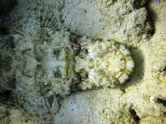 TGI Diving Marsa Alam: PESCE COCCODRILLO