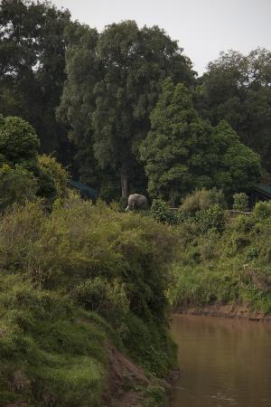 Governor's Camp: Elephants near the tents