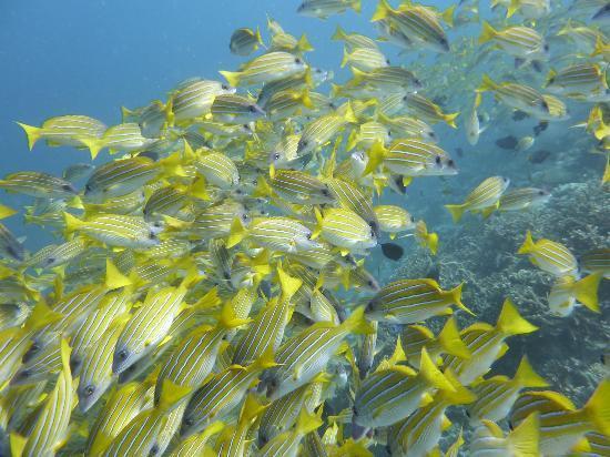 บารอส มัลดีฟส์: ダイビング・・・綺麗な海で、大量の魚の群れが見れます!