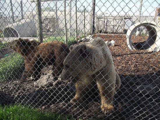 Big Cat Habitat and Gulf Coast Sanctuary: Bears