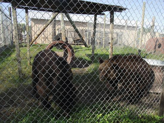 Big Cat Habitat and Gulf Coast Sanctuary: Bear