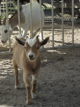 Big Cat Habitat and Gulf Coast Sanctuary: Baby Pygmy Goat
