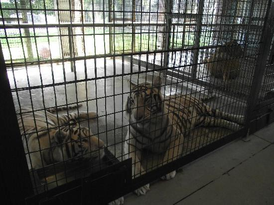 Big Cat Habitat and Gulf Coast Sanctuary: Vanna & Barry