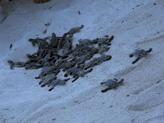 Playa Blanca Condominiums: Sea turtle migration.