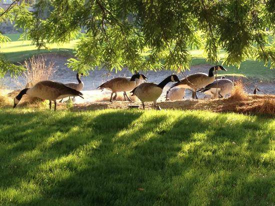Marriott's Shadow Ridge I-The Villages: Geese