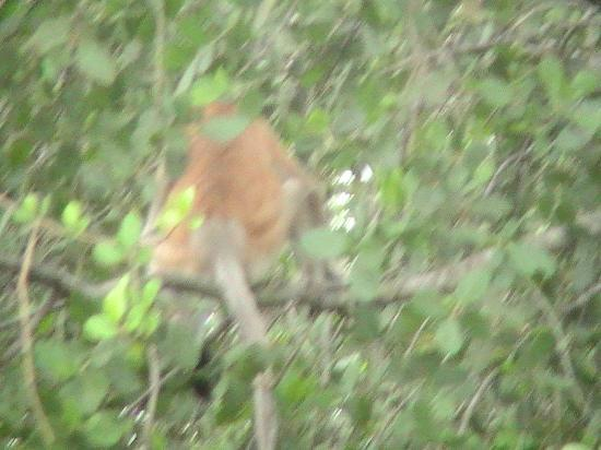 Sukau Rainforest Lodge: proboscis monkey