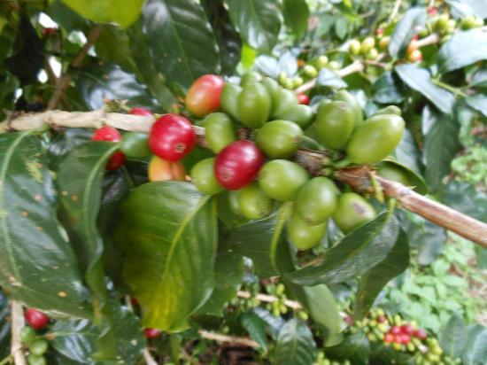 Rio Celeste Hideaway Hotel: coffee beans