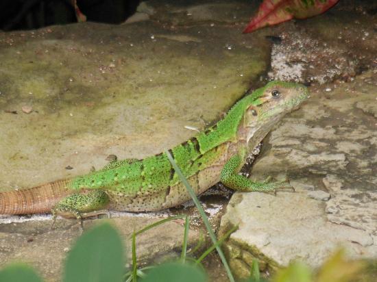 Latitude 10 Beachfront Resort: Iguana at the pool