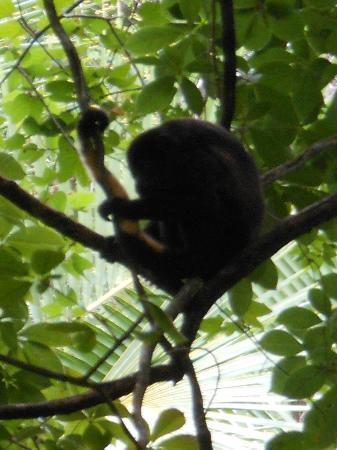 Latitude 10 Beachfront Resort: Howler monkey