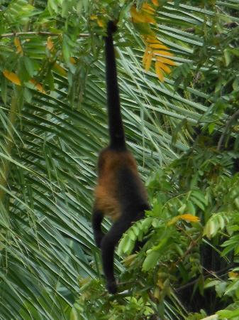 Latitude 10 Beachfront Resort: Howler monkey in Montezuma