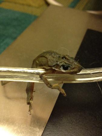 La Quinta Inn & Suites Columbia NE Fort Jackson: The dead frog that was on the cord of the lamp in our room.