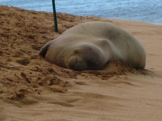 Aston Mahana at Kaanapali: Endangered monk seal