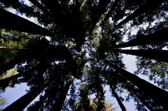 Ventana Inn & Spa: Looking up in forest from walking path