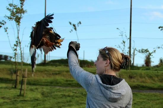 Balbriggan, Ireland: Thelma the hawk landing on our arms - awesome!