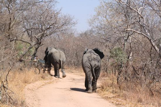 Mabula Game Lodge: Two male elephants