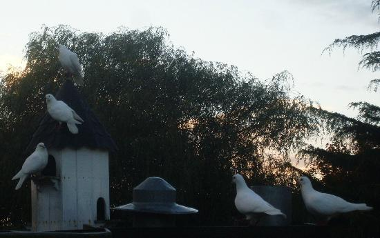 Widbrook Grange: doves