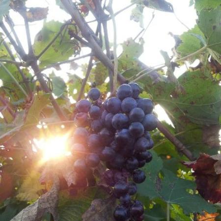 Vineria del Barolo : dalle lore uve.. .il loro vino...