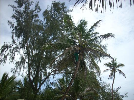 Diani Sea Resort: élimination des noix de coco dangereuses pour les lézardeurs