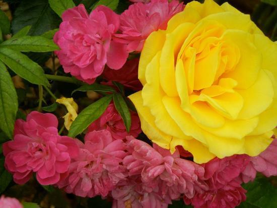Smith Gilbert Gardens: Roses