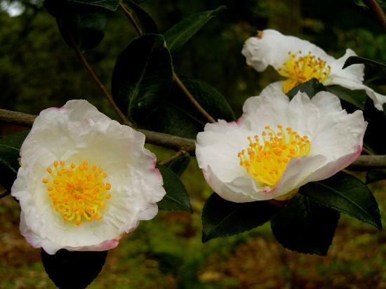 Smith Gilbert Gardens: Camellias