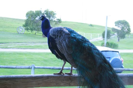 Cape Schanck, Austrália: Visitor just outside the window of our cabin...