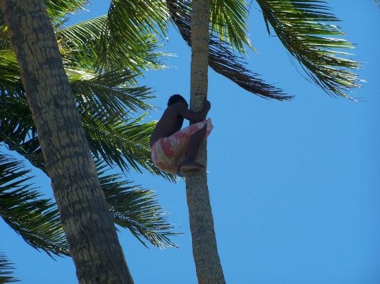 Robinson Crusoe Island: Climbing coconut trees