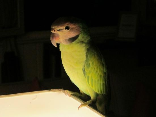 Maison Souvannaphoum Hotel: Buddy - The Resident Parakeet on Duty