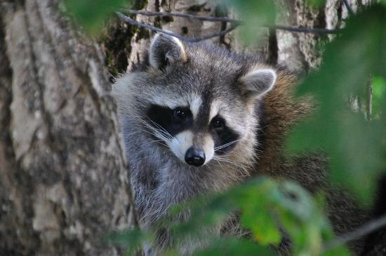 "Evening Sail B&B: ""Our"" raccoon, after he'd left the balcony"