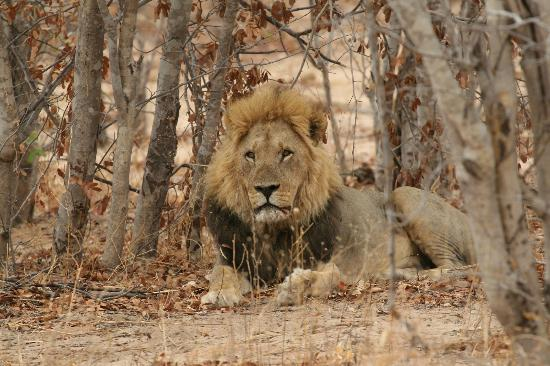 Chobe National Park, Botsuana: Ghoha pride male