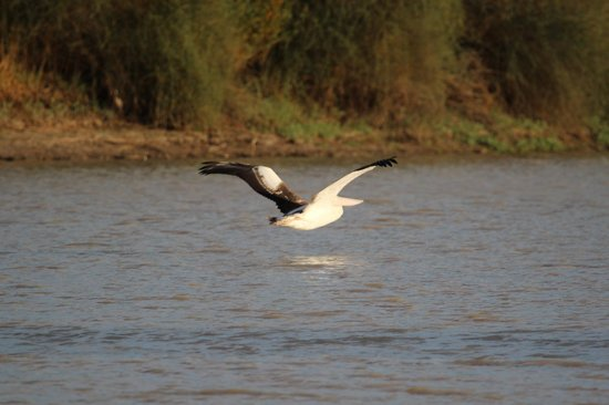 Innamincka, Australië: Pelican skimming over Cooper's Creek at Cullymurra Waterhole