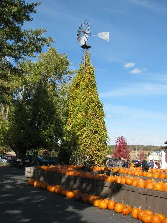 Poplar Grove, IL: Pumpkin picking at Edwards
