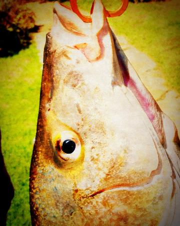 Mudlark River Front Lodge: spotted grunter , caught out the Breede