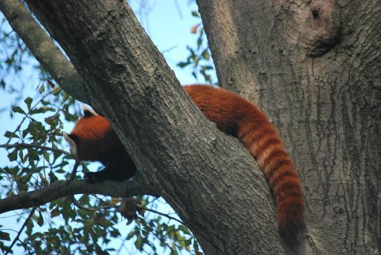 Virginia Zoo : Super cool red panda